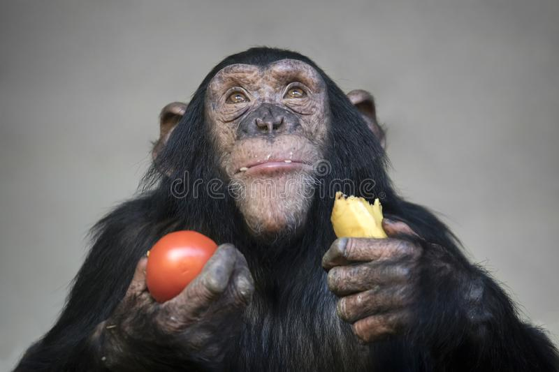 Young chimpanzee. Eating banana and tomato stock images