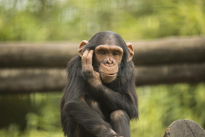 Young chimpanzee. Looking in camera royalty free stock photo