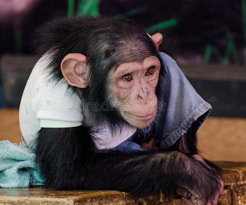 Young chimpanzee. In the zoo royalty free stock image