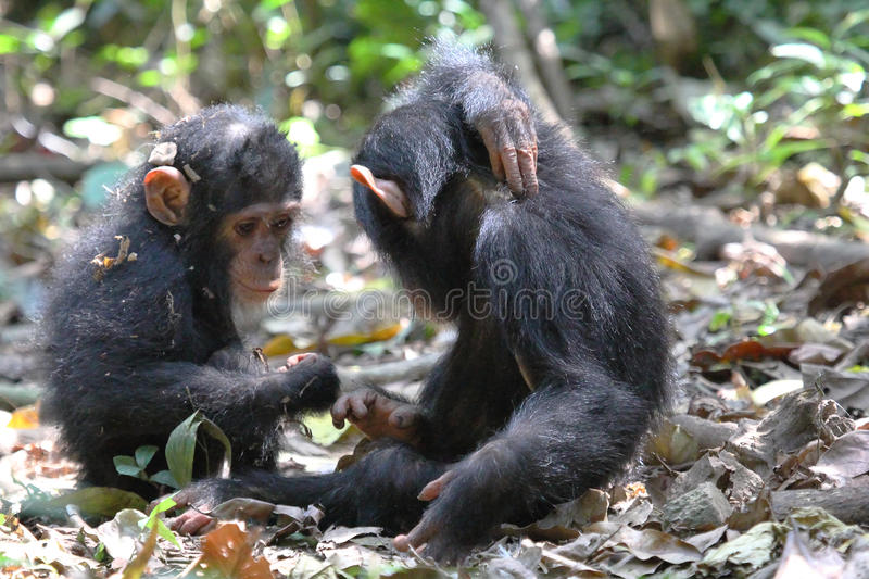 Young chimpanzees playing. Two baby chimpanzees (Pan troglodytes) playing on the ground in Gombe Stream National Park, Tanzania stock photos