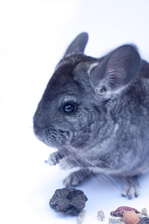 Young Chinchilla  On White Stock Image