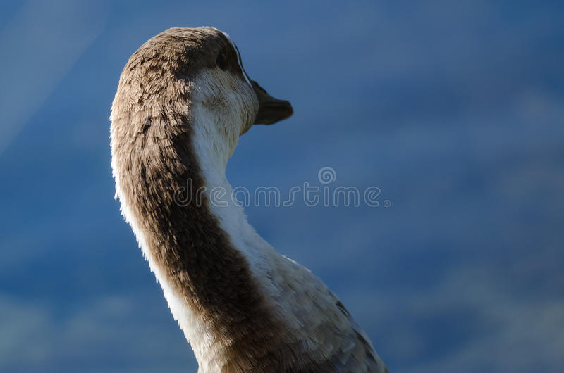 Young Chinese Goose Looking Across the Water royalty free stock image