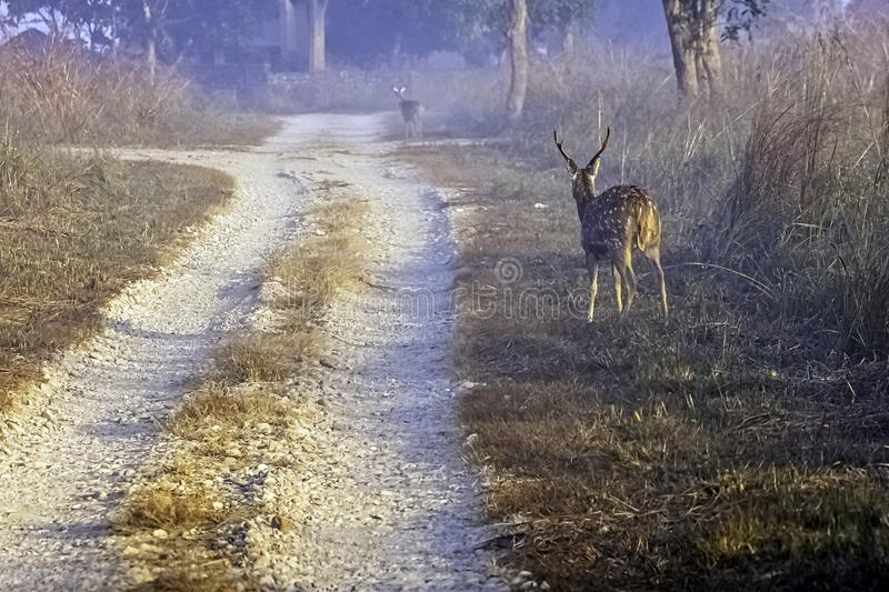Young chital or cheetal, also known as spotted deer or axis deer male walking in the foggy morning at Jim Corbett National Park, I royalty free stock photos