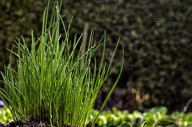 Young chives growing in vegetable garden. In Spring the overwintering chives are growing again in the vegetable garden to give flavor to the food. Photo taken in royalty free stock photography