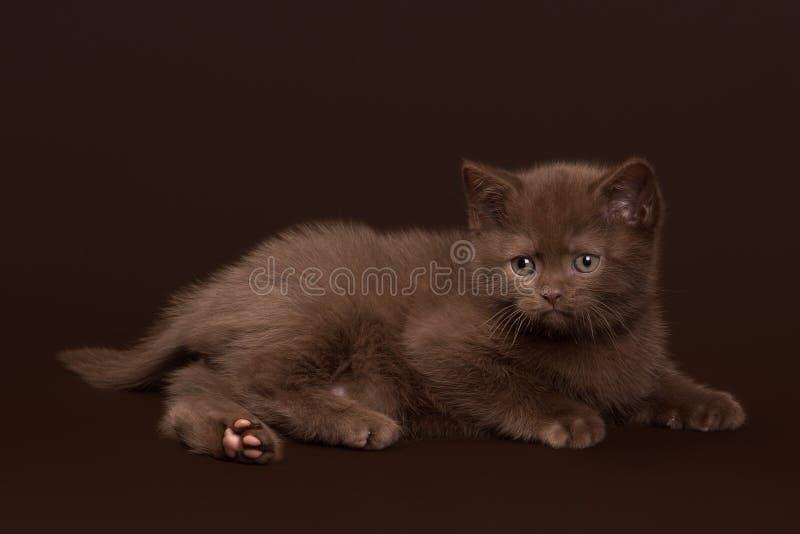 Young chocolate british cat on dark brown stock image