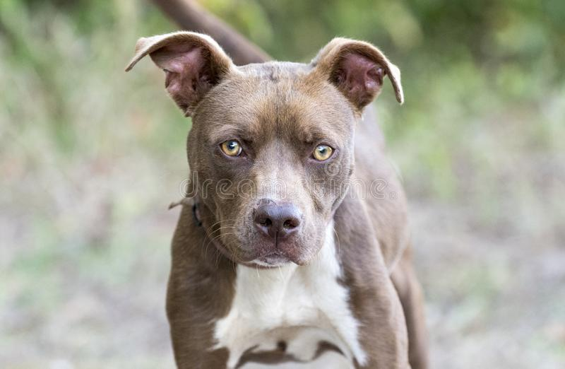 Young chocolate and white pitbull terrier mix breed puppy. Young female eight month old chocolate and white pitbull terrier mix breed puppy dog outside on leash royalty free stock photography