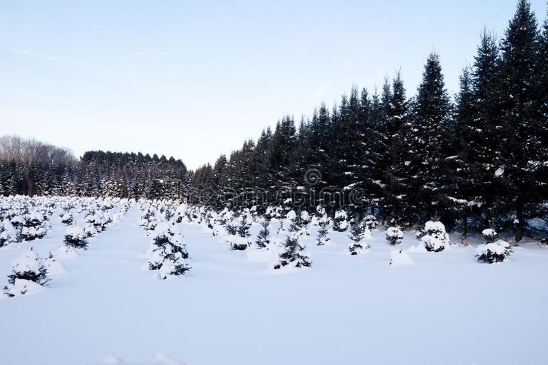 Young Christmas tree crop in Wisconsin. After a February snowstorm royalty free stock photography