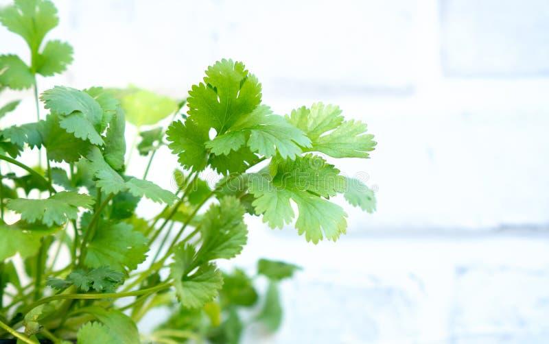 Young cilantro coriander plant royalty free stock photos
