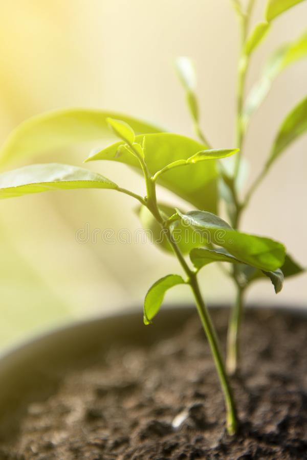 Young citrus sprout. Grow your own plant. Lemon, tangerine plant in pot, indoor decorative plant stock images