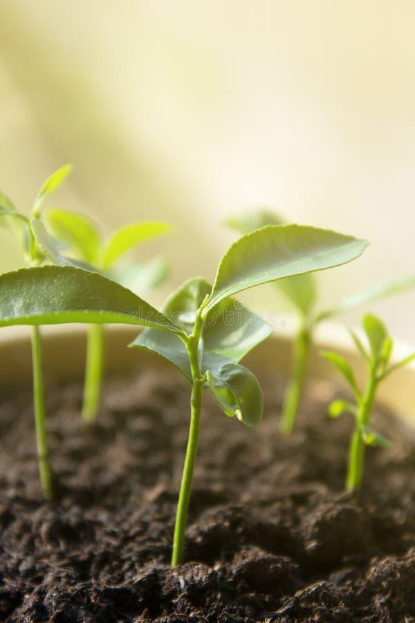Young lemon tree in pot stock image. Image of gardening - 40181077