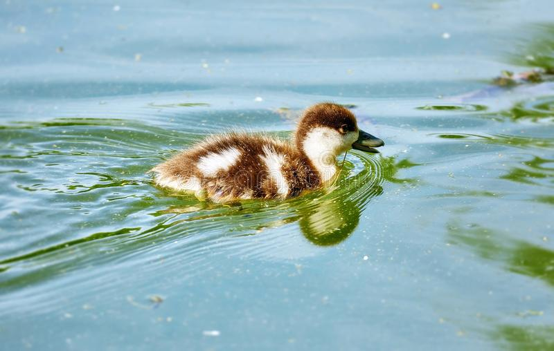 Young city ducks floating in green summer water stock image