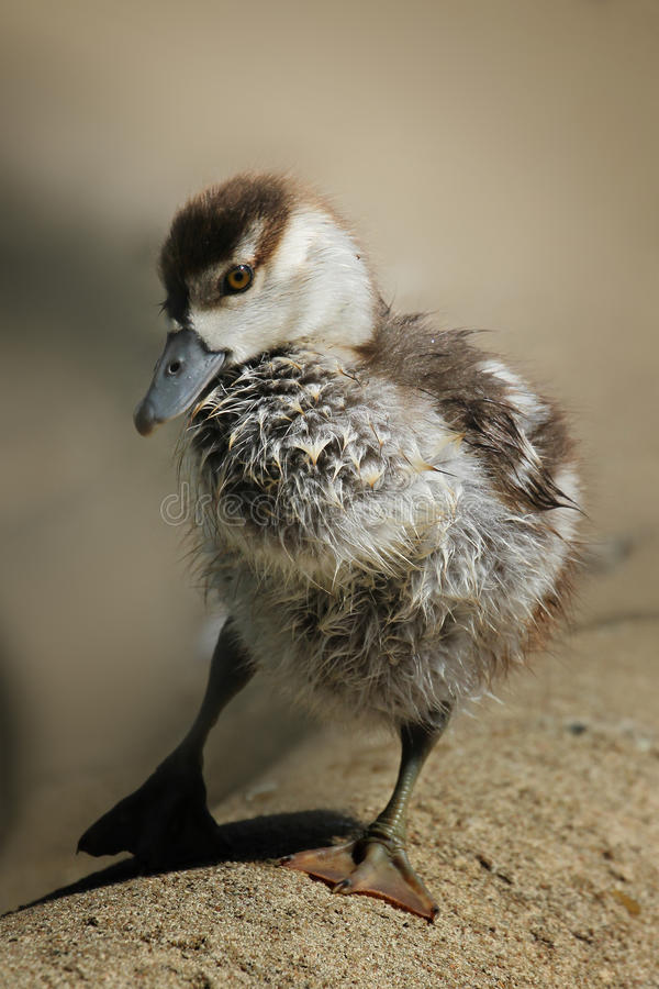 Young clumsy duckling closeup royalty free stock images