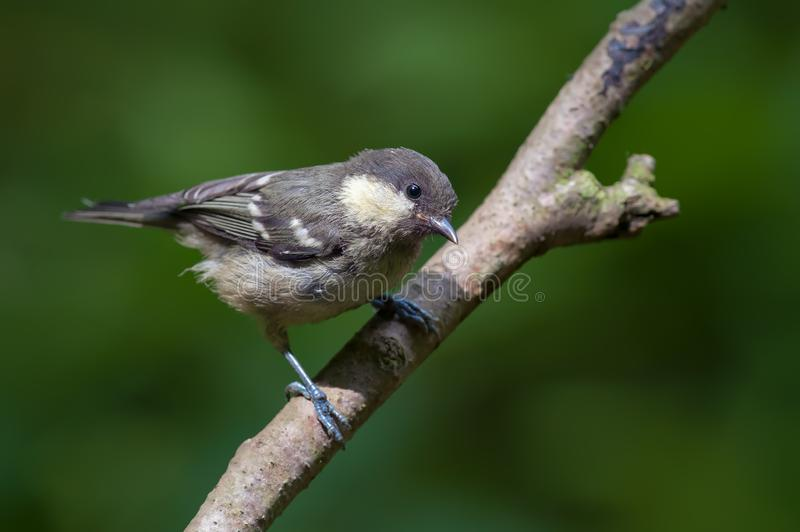 Young Coal tit perched on thin branch. Young Coal tit looks interested on some branch royalty free stock photo