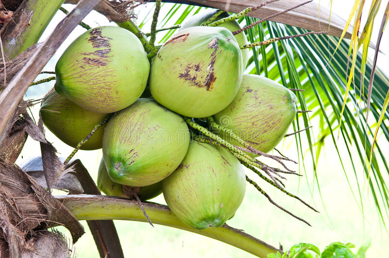 Download Young coconut on the tree stock photo. Image of organic - 33526634