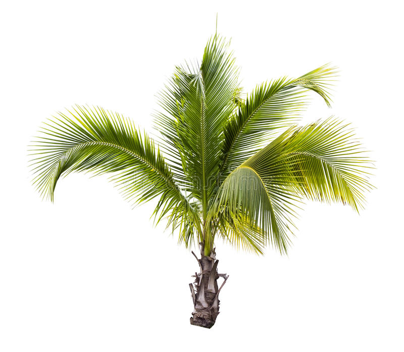 Young coconut tree isolated. On white royalty free stock photo