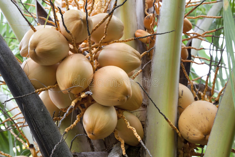 Download Young coconuts in a tree stock image. Image of young - 14409327