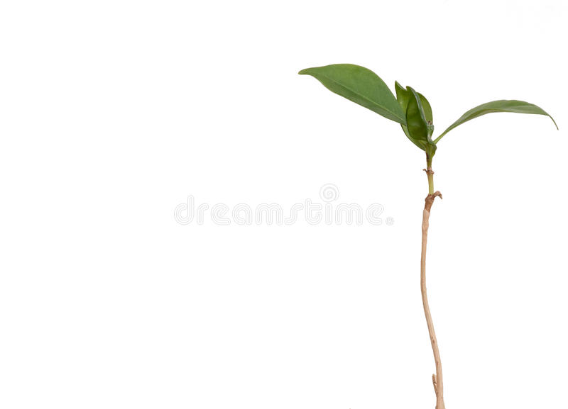 Isolated young coffee plant with long stem and bright green leaves with copyspace royalty free stock images