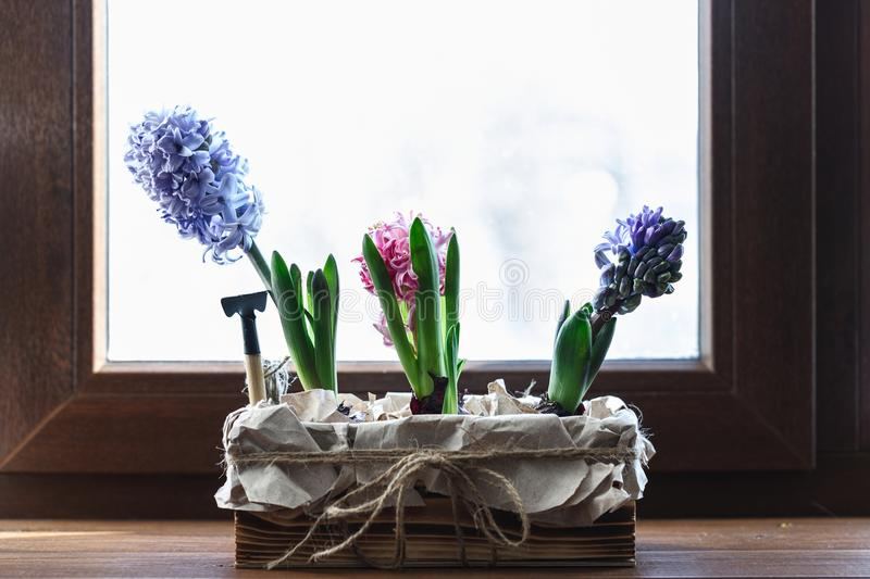 Young colored hyacinths in a box stock image