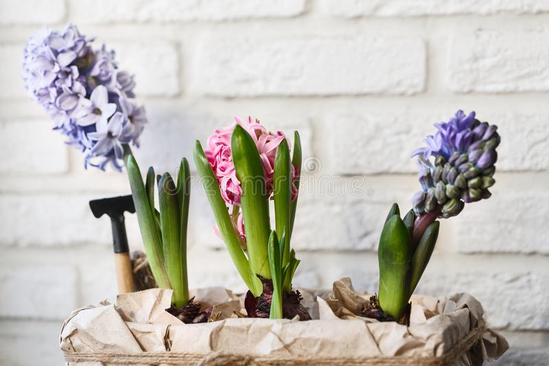 Young colored hyacinths in a box royalty free stock photos