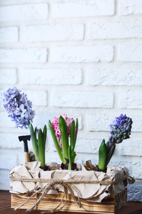 Young colored hyacinths in a box royalty free stock photography