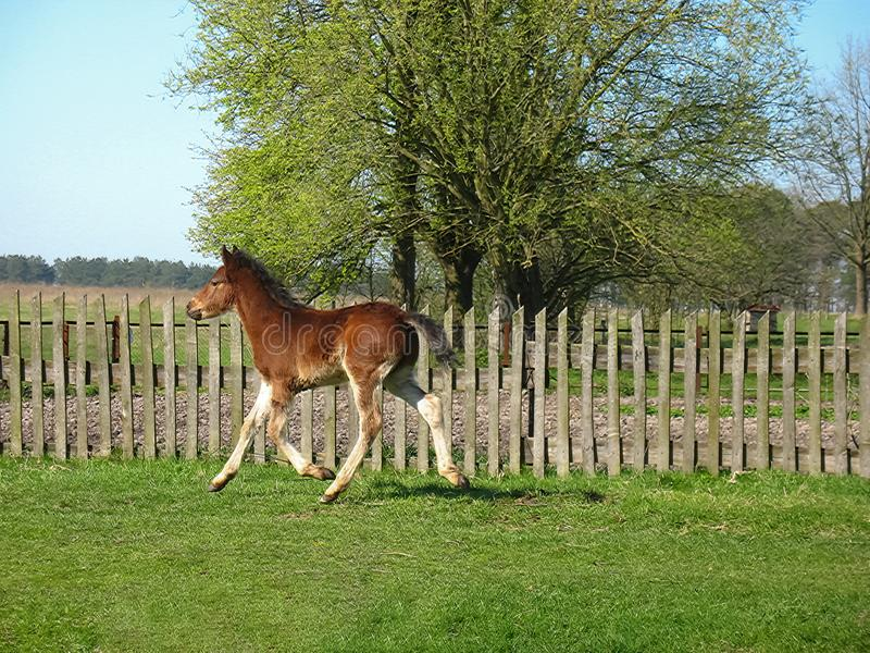 Young Colt running. Young colt is running happy foal stock photo