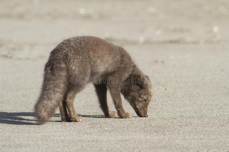Young Commanders blue arctic fox that stands on the beach autumn royalty free stock photography