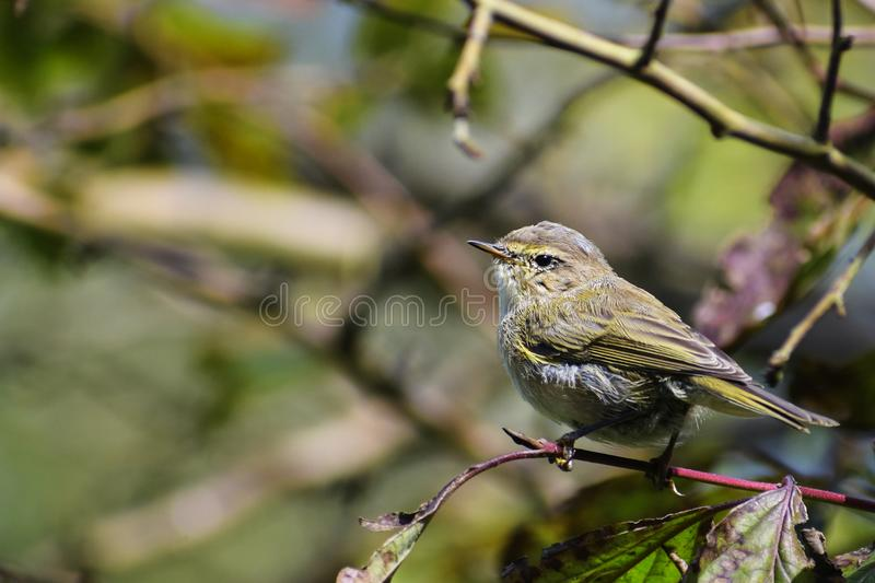 Young common chiffchaff Phylloscopus collybita in the bushes, stock photo