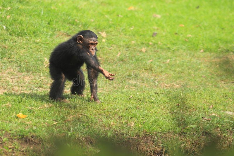 Young common chimpanzee. Stretching his hand stock photo