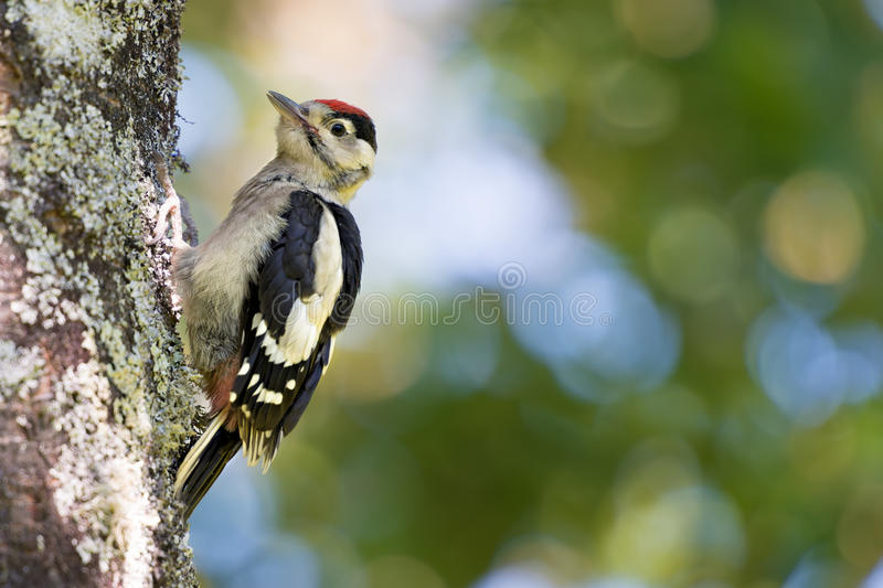 Young common european woodpecker stock images