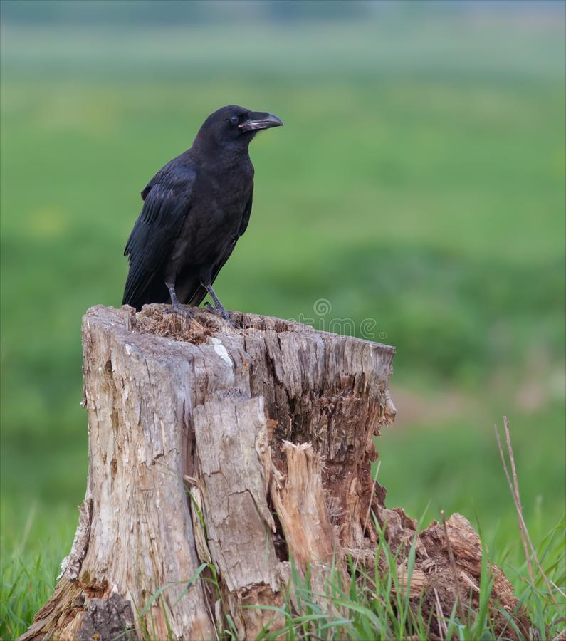 Young Common raven sits on an old large stump stock images