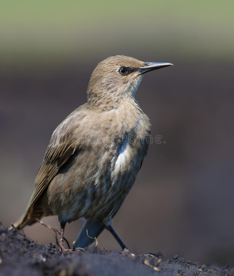 Young Common Starling syands on bare soil in summer. Young Common Starling sitting on bare ground for tight shot stock photo