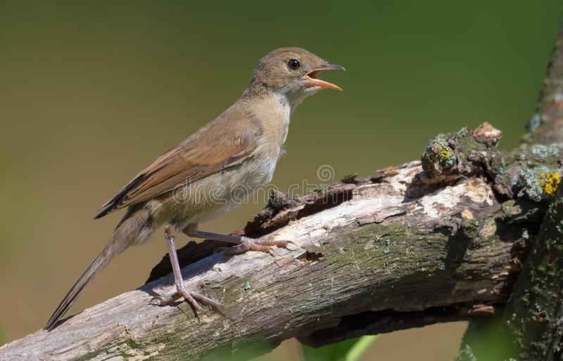 Young Common whitethroat sitting on big branch with open beak being thirsty or calling loudly stock image