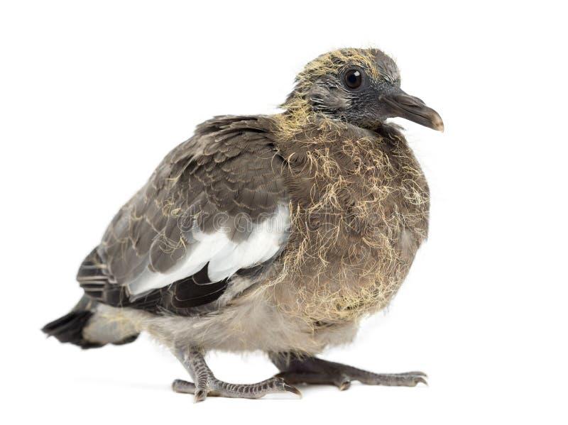Young Common Wood Pigeon, Columba palumbus stock photos