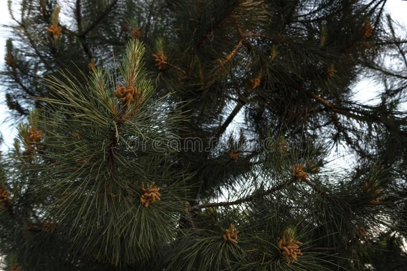Young cones on a conifer in spring close-up in the rays of the setting sun.  stock photography