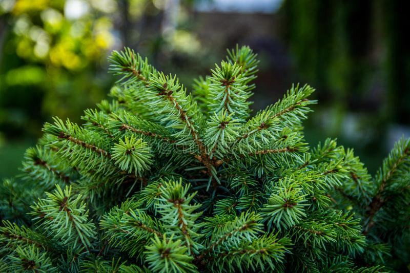 Young conifer branches. Fir-tree background. stock photo