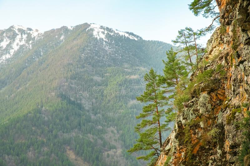 Young coniferous trees grow on the rocky slope of the mountain against the backdrop of mountain peaks royalty free stock photo