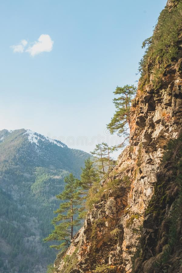Young coniferous trees grow on the rocky slope of the mountain against the backdrop of mountain peaks royalty free stock photos