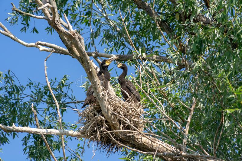 Young cormorants at nest on Danube delta royalty free stock photos