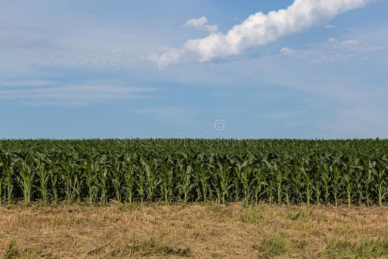 Young corn field somewhere in Omaha Nebraska. Beautiful blue sky stock photos