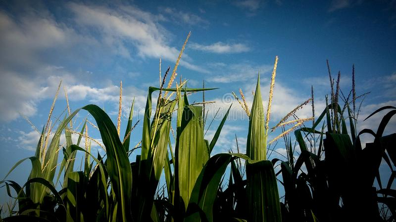 Young corn filed with blue sky at sunset - agriculture royalty free stock images
