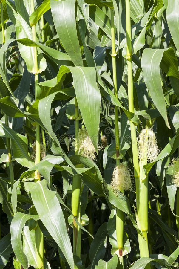 Young corn. Fresh young corn with cobs, where the grain begins to grow, closeup in the field stock photo