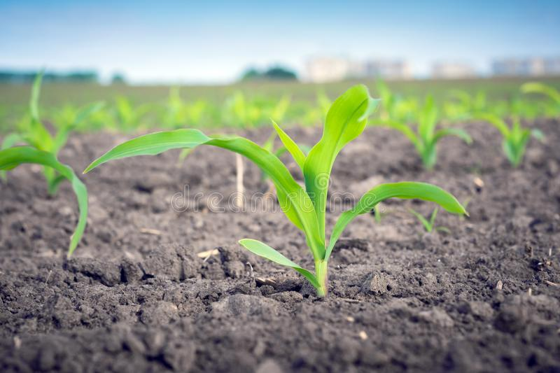 A young corn plant on the background of the same on the field royalty free stock photo