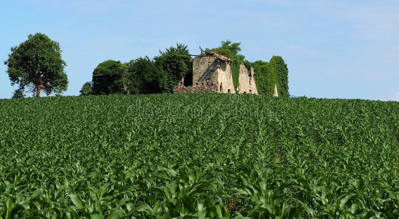 Young corn plants in a cornfield with an abandoned ancient house made of stones and a single tree on background. End of the spring stock photography