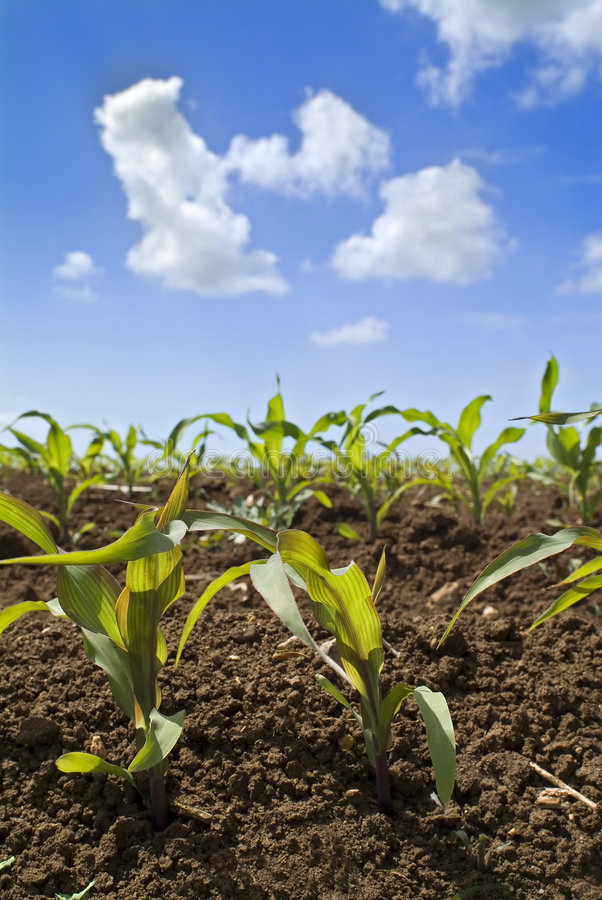 Young corn plants field royalty free stock image