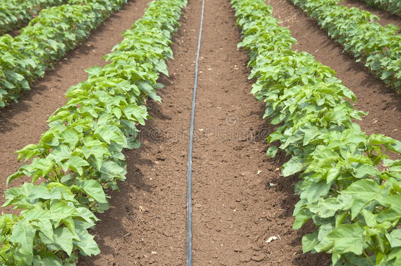 Irrigation of cotton field royalty free stock images