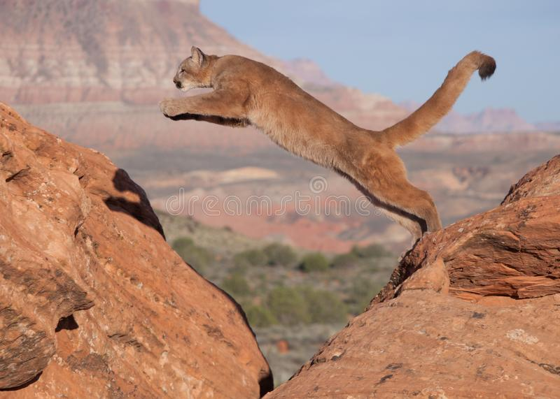 A young cougar jumping from one red sandstone boulder to another with a southwestern desert and mesa in the background stock photography