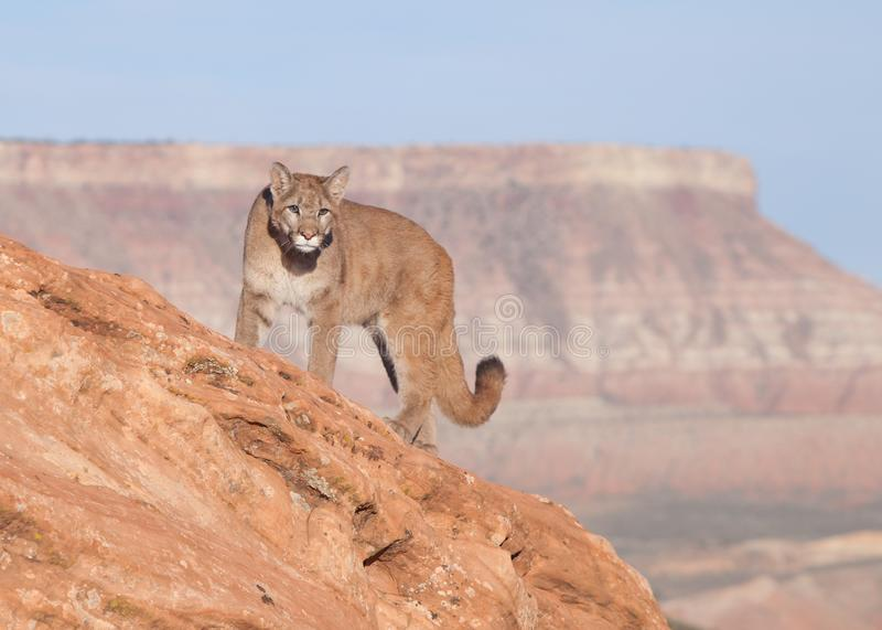Young cougar on a red rock ridge in Southern Utah. A young cougar looks out over the desert from on top of a red sandstone ridge in Southern Utah with Smith`s royalty free stock photo