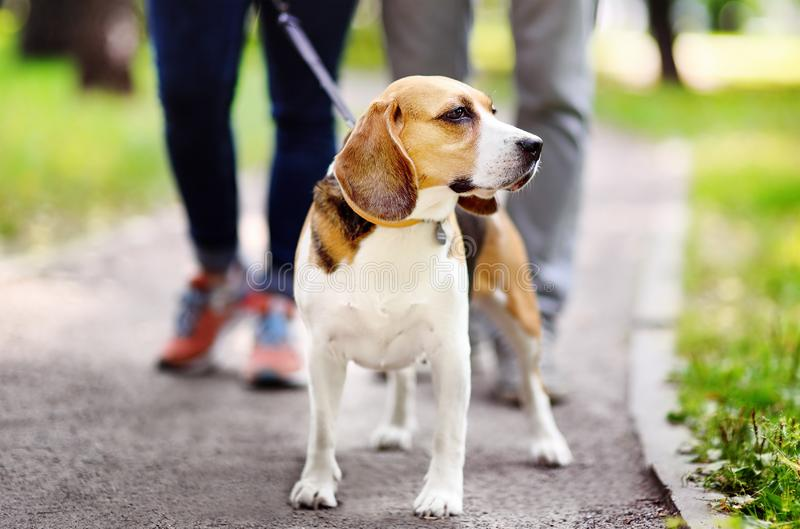 Young couple with Beagle dog wearing in collar and leash walking in the summer park. Family time stock photography