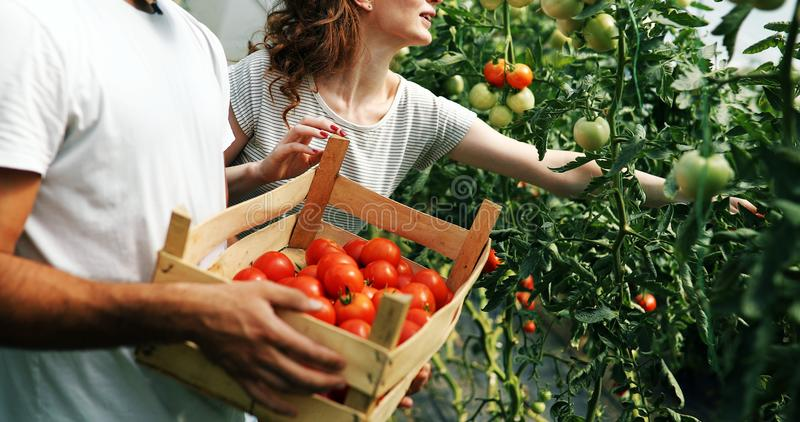 Young couple of farmers working in greenhouse. Young happy couple of farmers working in greenhouse stock image