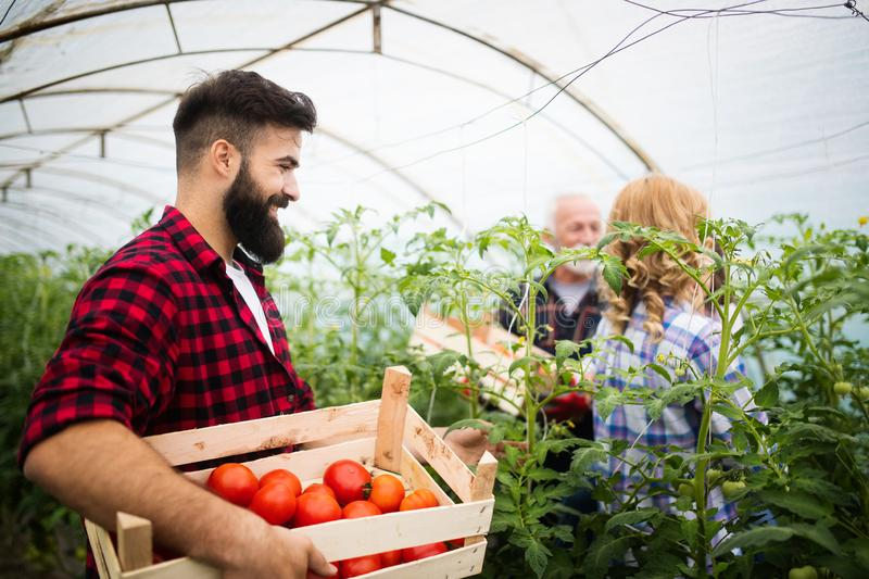 Young couple of farmers working in greenhouse royalty free stock photography